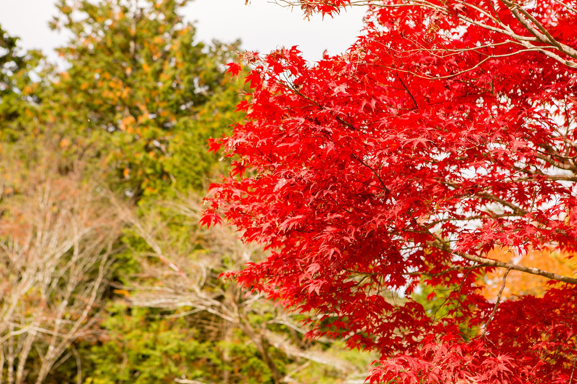 萌ゆる紅葉