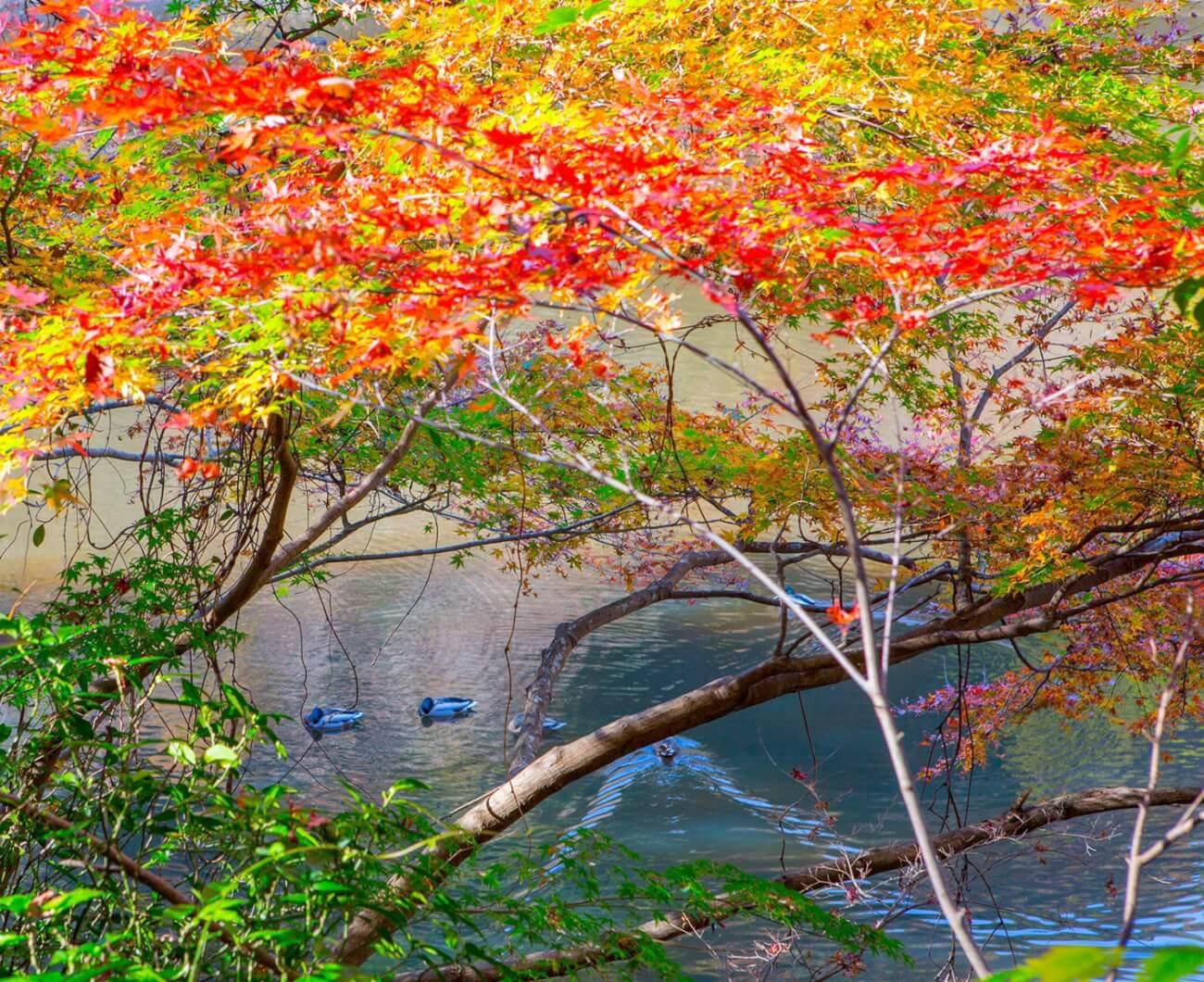 鴨と紅葉( in 松尾池 )